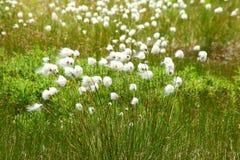 Katoenen gras Royalty-vrije Stock Afbeelding