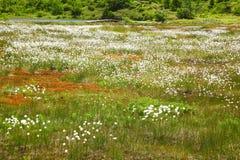 Katoenen gras Stock Fotografie