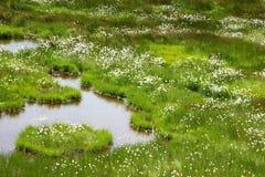 Katoenen gras Stock Foto's