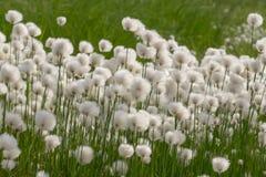 Katoenen gras (phorum van Erià ³) Stock Foto