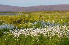 Katoenen gras tegen achtergrond van bergen en meren, Polair Oeralgebergte royalty-vrije stock foto's
