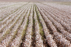 Katoenen landbouwbedrijf dichtbij Sevilla in Andalusia, Spanje Stock Afbeelding