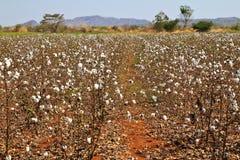 Katoenen landbouwbedrijven stock foto's