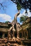 Katoenen van de zijde boom Stock Foto