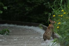 Katoenstaartkonijnkonijn op een houten weg stock foto
