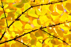 Katsura Tree Detail Stock Photo