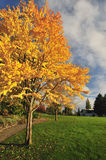 Katsura tree in fall color Stock Image