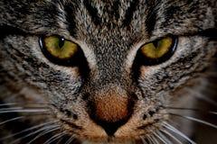Katt ansikte mot ansikte Royaltyfri Bild