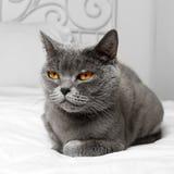 Katt Bbritish för kort hår royaltyfria foton
