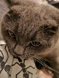 Katt bitted i kudde royaltyfri bild
