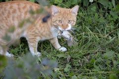 Katt fångat rov royaltyfri foto