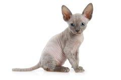 Katt för sju veckor gammal Don Sphinx pott Royaltyfri Fotografi