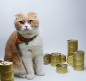 Katt för skotte fyra med på burk foods för katter Royaltyfri Fotografi