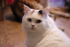 Katt för tre färger Arkivbilder