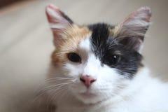 Katt för två framsida Royaltyfri Bild