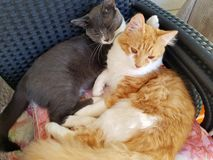 Katt för två katter fotografering för bildbyråer