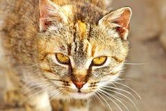 Katt.  (Felissilvestriscatus) Royaltyfria Bilder