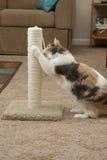 Katt genom att använda skrapa stolpen Royaltyfri Foto