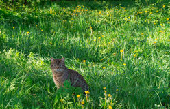 Katt i ängen Fotografering för Bildbyråer