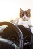 Katt i bil Royaltyfria Bilder
