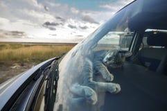 Katt i bilen Royaltyfri Fotografi