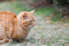 Katt i det gr?na gr?set i sommar H?rlig r?d katt med gula ?gon royaltyfri bild