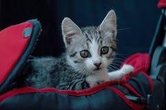 Katt i en barnvagn Royaltyfria Bilder