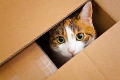 Katt i en boxas Arkivfoton