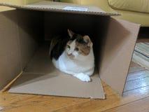 Katt i en boxas Arkivfoto