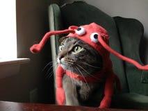 Katt i en hummerdräkt Fotografering för Bildbyråer