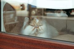 katt i fönstret av kattkafét arkivbilder