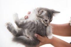 Katt i händer på vit bakgrund Royaltyfri Bild