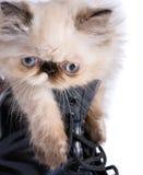 Katt i kängor - Himalauan katt i stridkänga Arkivbilder
