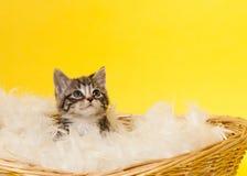 Katt i korg Arkivbilder