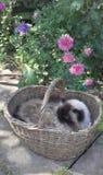 Katt i korgen royaltyfri bild