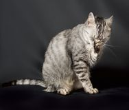 Katt i mörk bakgrund, kattstående, katt i studio med utrymme för annonsering och text, katt, katt hemma, tamdjur Arkivfoto