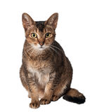 Katt i studio på en neutral bakgrund Royaltyfria Foton