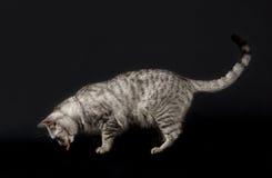 Katt i svart bakgrund, kattstående, katt som isoleras i mörk bakgrund, kattståendeslut upp, katt i studio med utrymme för annons Arkivbild