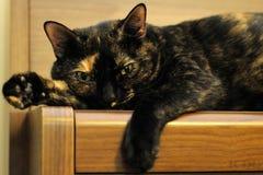 Katt II Fotografering för Bildbyråer