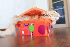 Katt inom en ask Royaltyfri Foto