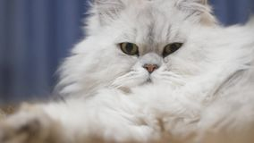 Katt inomhus stock video