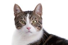 katt isolerad white royaltyfri fotografi