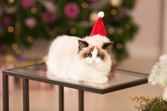 Katt Julparti, katt för vinterferier med gåvaasken nytt år för katt julträd i inre bakgrund Royaltyfri Bild