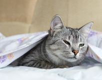 Katt katt i en säng, rolig sömnig katt, kattnederlag i en säng som spelar katten, katt under räkningen, gulligt roligt kattslut u Royaltyfria Bilder