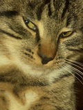 katt kloka tom Fotografering för Bildbyråer