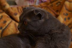 Katt lång-gå i ax grå man för britt royaltyfri foto