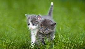 katt lilla två Royaltyfria Bilder