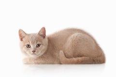 Katt Liten röd kräm- brittisk kattunge på vit bakgrund Royaltyfri Bild