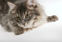katt little Royaltyfri Bild