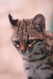 katt little som är prickig Royaltyfria Bilder